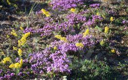 Solbelysta sommarblommor i närbild, gulmåra och backtimjan