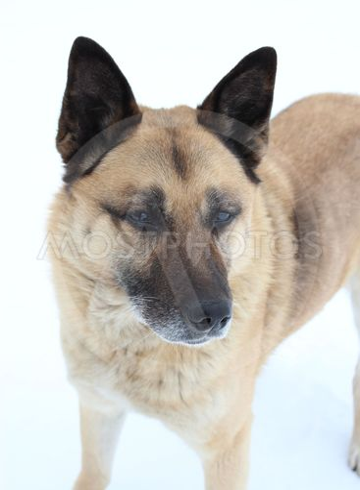 dog, close-up, portrait, eyes, ears, brown, whitdog,...