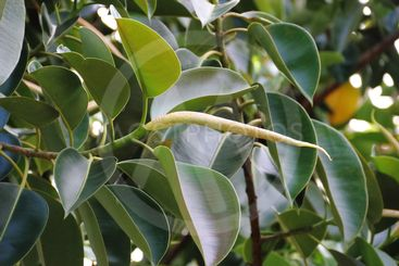 Ficus elastica tree called epiphytes large green leaves