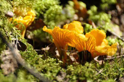 Yellow Chanterelle