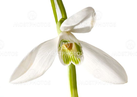 snowdrop blomma isolerade