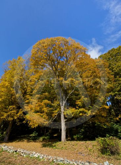 Tree Autumn, Fall