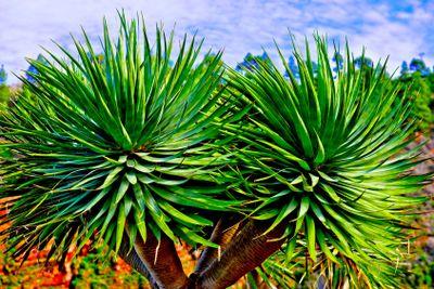 canary islands, la palma , flora : dragon tree