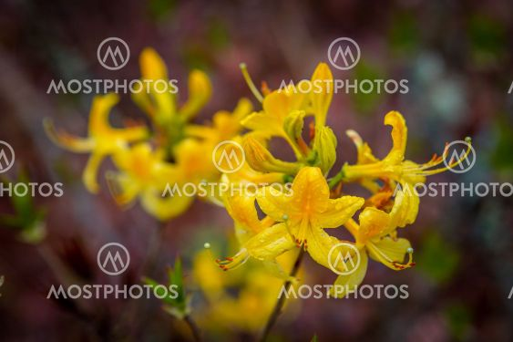 Rhododendron Flower Closeup, Ericaceae Family,...