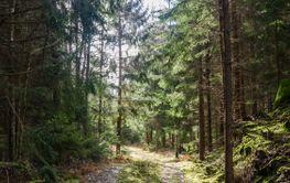 Skogsvägen i vackert motljus