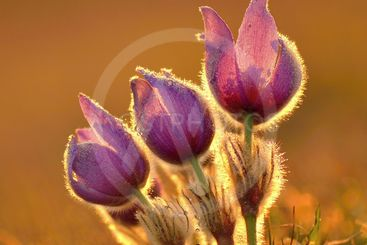 Pasque Flower blooming on spring meadow at the sunset -...