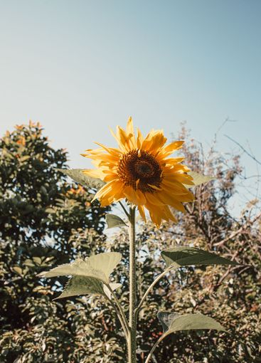 Single sunflower over the trees and the sky