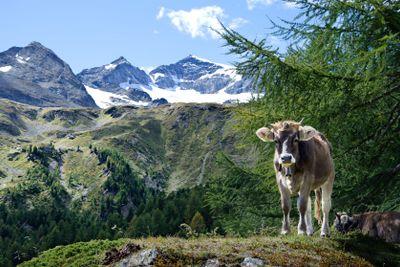 Alpen cow