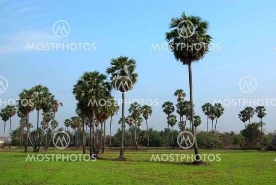 Sugar palm tree in rice field