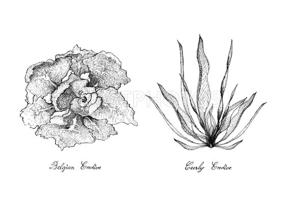Hand Drawn of Curly Endive and Belgian Endive