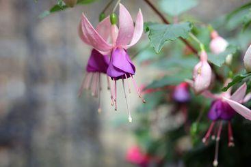 Purple flower fuchsia blooms upside down