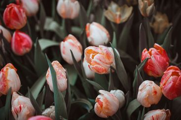 Beautiful variegated tulips in the garden. Muted colors