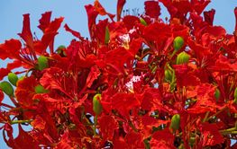 Flame Tree Red