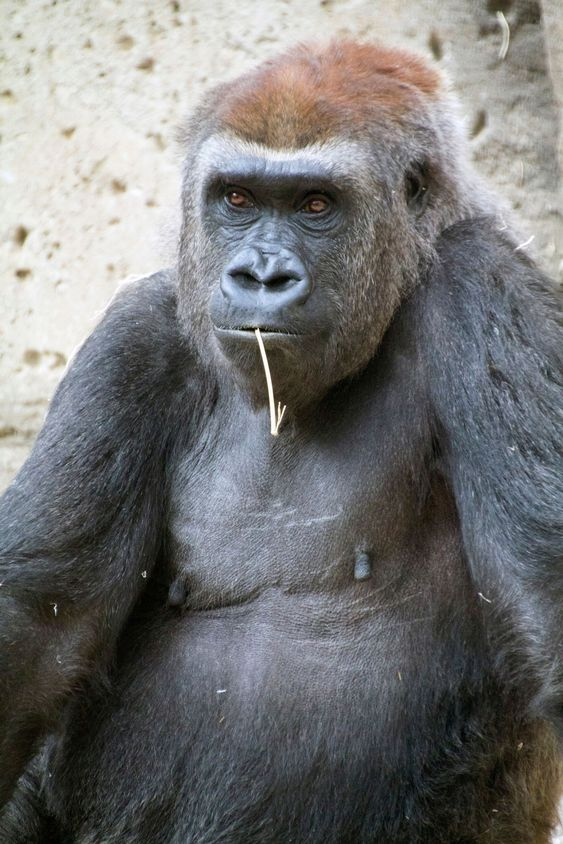 gorilla seated and relaxed