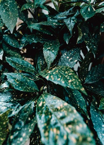 Background of a lot of dark green leaves on moody tones