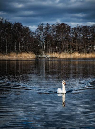 Swan at lake Kyrksjön in Stockholm