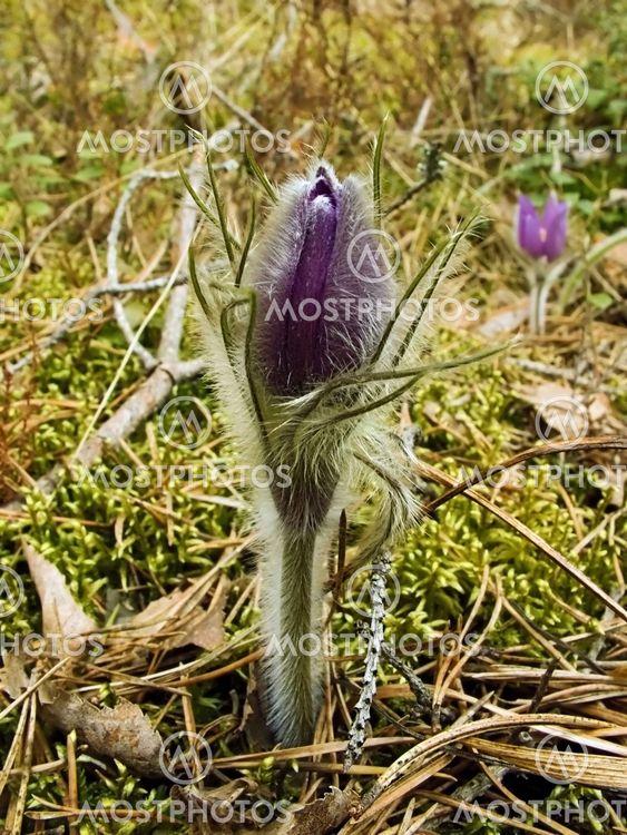 Første foråret blomst - < søn-trava >