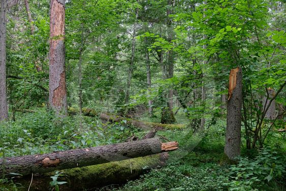 Summertime wet mixed forest with broken dead spruce trees