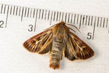 The nocturnal antler moth Cerapteryx graminis on a white...
