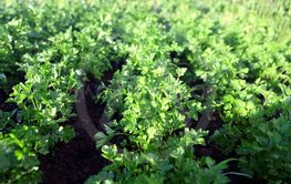 green parsley on field