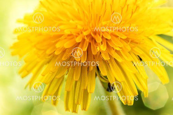 extremt macro foto av en blommande maskros