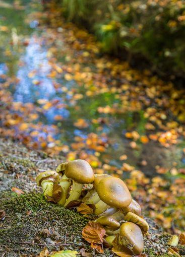 Wild brown mushroom Stropharia