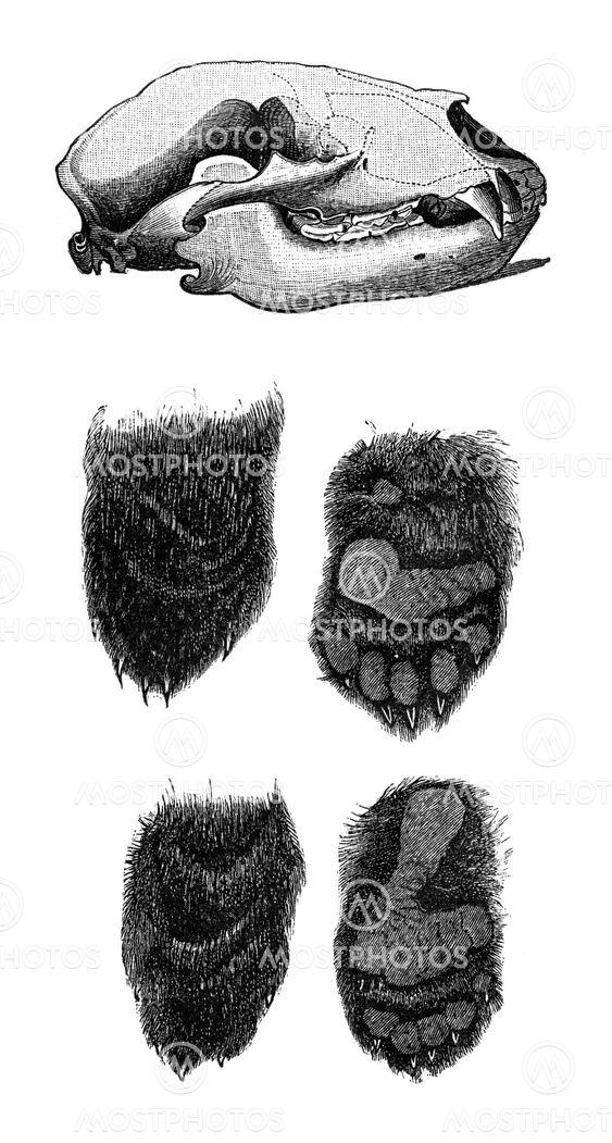 Anatomía de un oso\