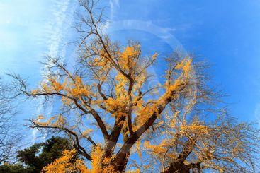 Yellowish Ginkgo tree in autumn.