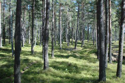 Lingonskog