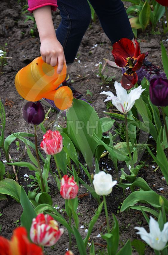 Flowering tulips on a flowerbed in a garden in the spring