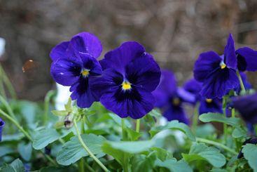 Violet wild pansies close-up