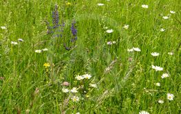 Flower meadow along the long-distance hiking trail...