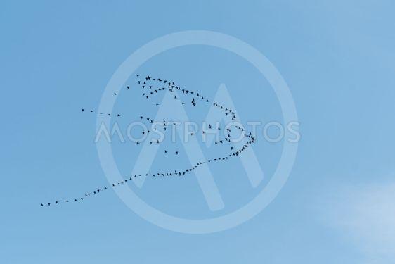Fågelsträck med flyttande gäss
