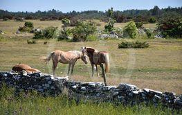 Hästar på Gettlinge alvar på Öland