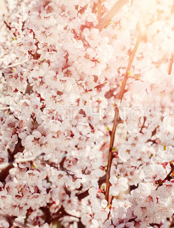 White Flowers of Cherry, nature background