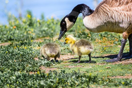 Canada Goose (Branta canadensis) new born chicks eating...