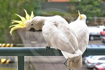 Australian Sulphur Crested Cockatoos close-up.