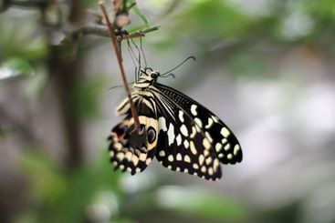 Dovetail butterfly hanging upside down with