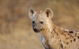 Young spotted hyena - Kruger National Park