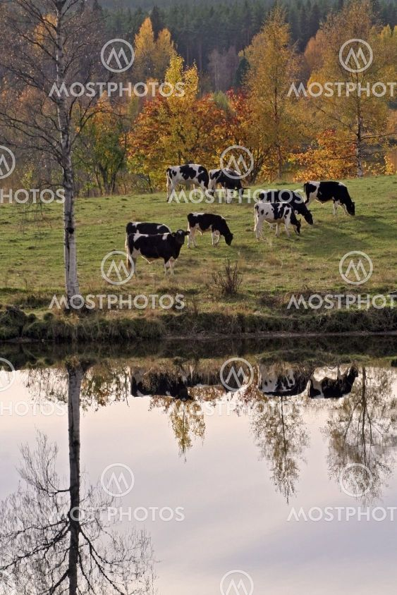 Cow-ards?