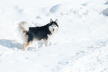 Husky dog lying in the snow. Black and white Siberian...