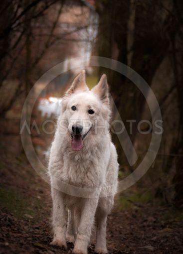 Portrait of white swiss shepherd dog