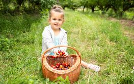Girl Putting Picked Cherries Into The Basket
