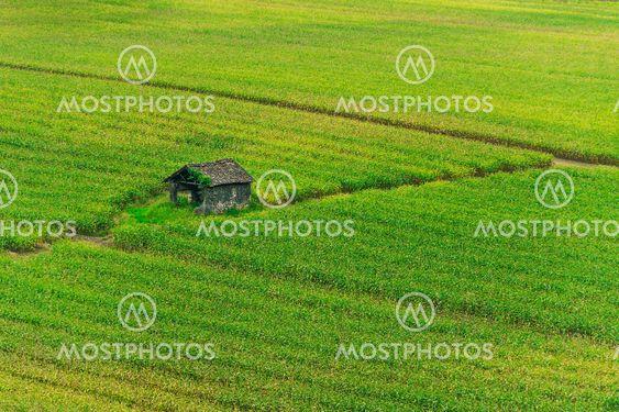 Hytte i grønne majs felt