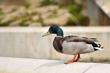 Mallard. Wild duck on the shore of a pond. Male-duck....