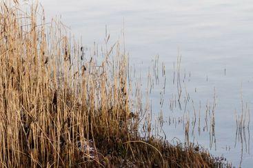 Vass i strandkanten av ett stilla hav - Silvertid