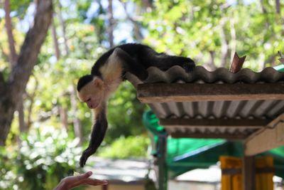 Monkey Reaching for Apple