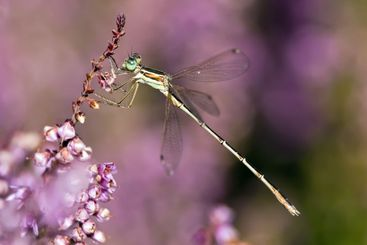 dragonfly on heather