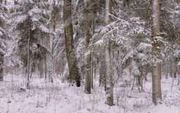 Wintertime landscape of snowy mixed tree stand