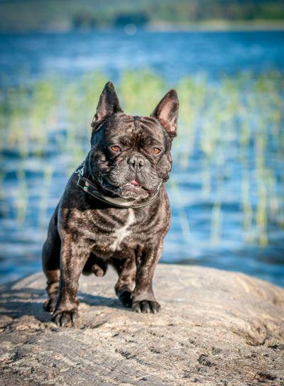 Trött hundmodell